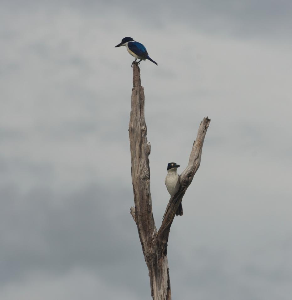 2 Kingfishers-2