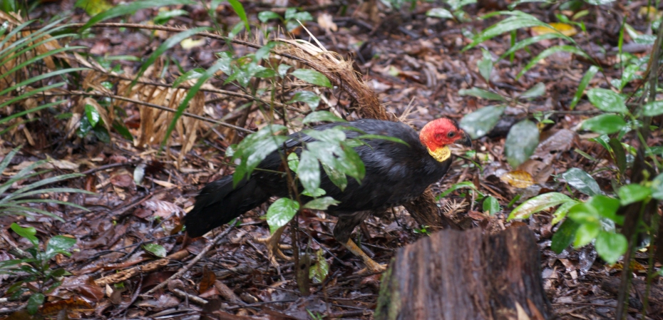 bush turkey-9
