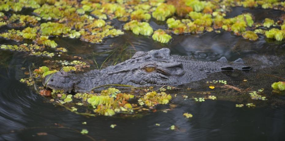 Crocodile-7