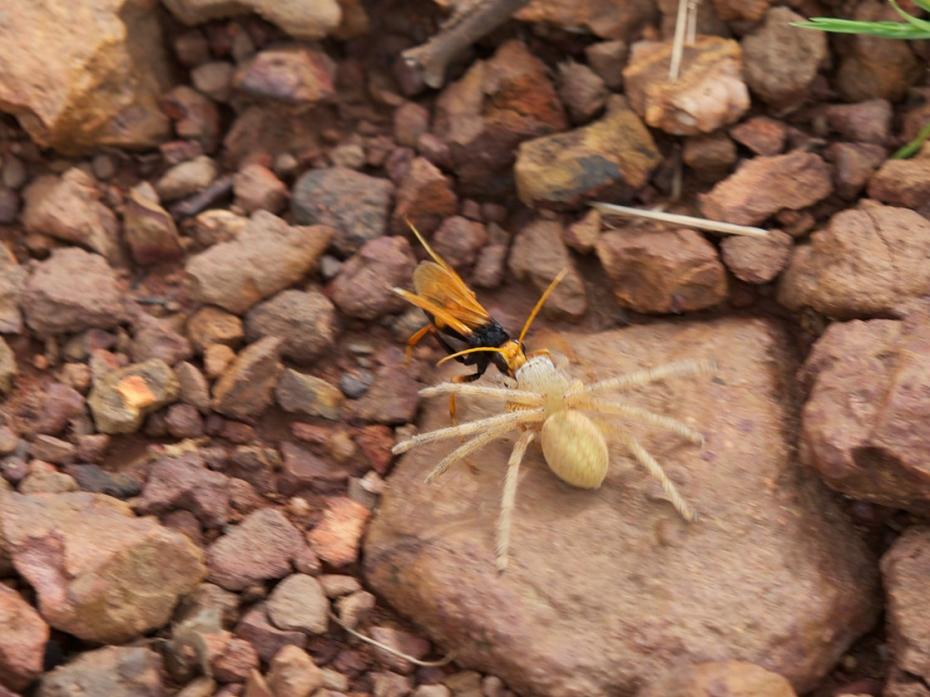 wasp dragging spider-31